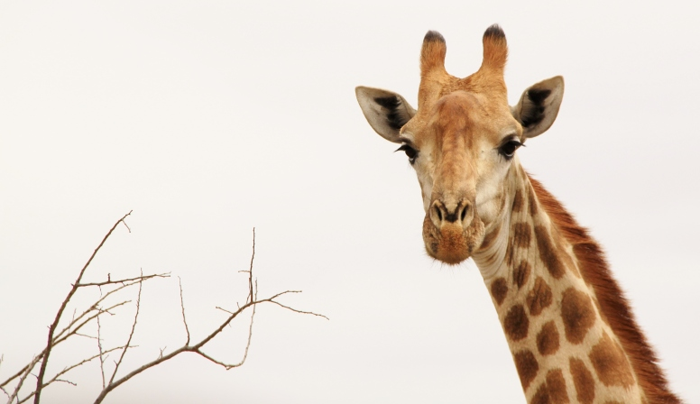 The kind of shot you can only get with a DSLR zoom - Giraffe, Kruger National Park, South Africa © C. Herren