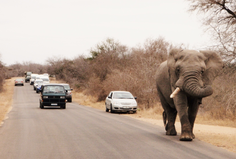 Angry elephant stopping traffic, Kruger National Park, South Africa